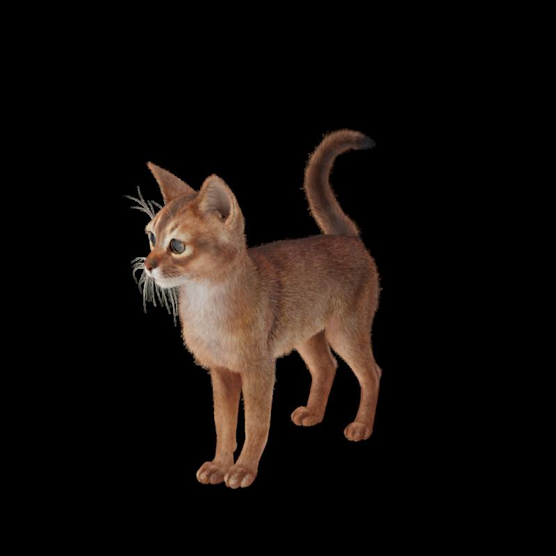 Abyssinian Cat.H03.2k