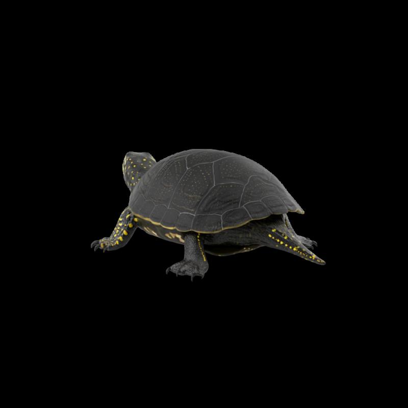 European Pond Turtle.H03.2k