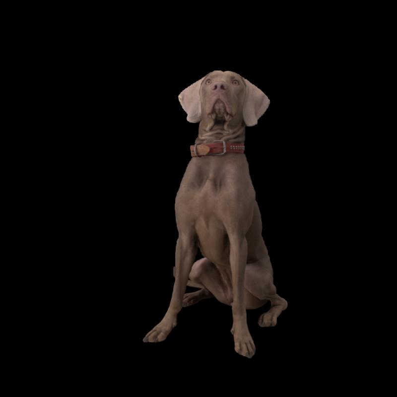 Weimaraner Dog Sitting.H03.2k